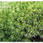 入手しやすい山苔「アラハシラガゴケ」の採取と育て方・増やし方