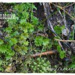 まるで緑の花!「オオカサゴケ」の採取と育て方・増やし方