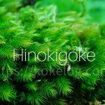 苔界のイケメン!「ヒノキゴケ」の採取方法と育て方・増やし方