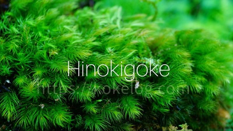 ヒノキゴケ