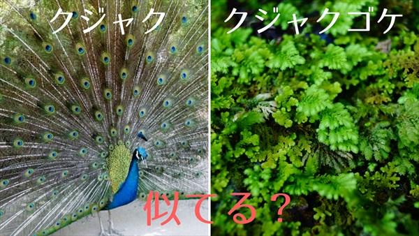孔雀とクジャクゴケの比較