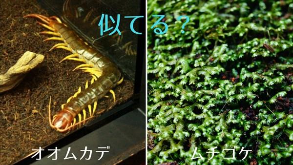 オオムカデとムチゴケの比較