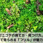 【ホソバミズゼニゴケ】の育て方・増やし方・見つけ方。水中化のコツは?紫になるのはなぜ?