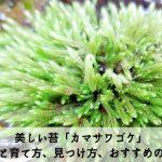【カマサワゴケ】採取方法と育て方・見つけ方。水中化はできる?