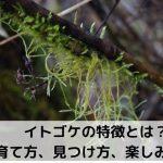 【イトゴケ】特徴、見つけ方・育て方・楽しみ方。キヨスミイトゴケとの見分け方は?